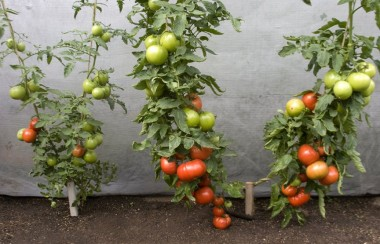 big-beef-tomatoes-not-grafted-and-grafted