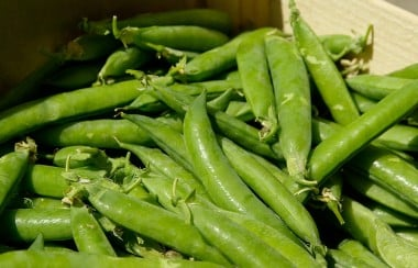 harvested-green-beans
