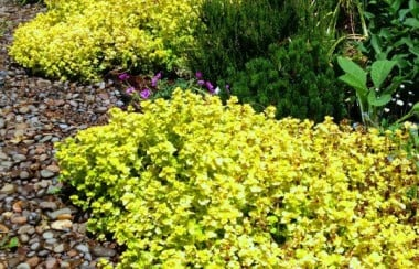 gold-growing-oregano