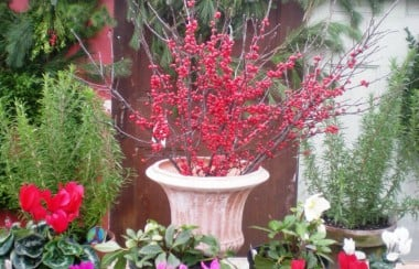 decorative-red-berry-plant