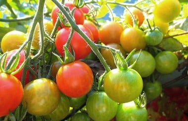 ripe-fresh-tomatoes