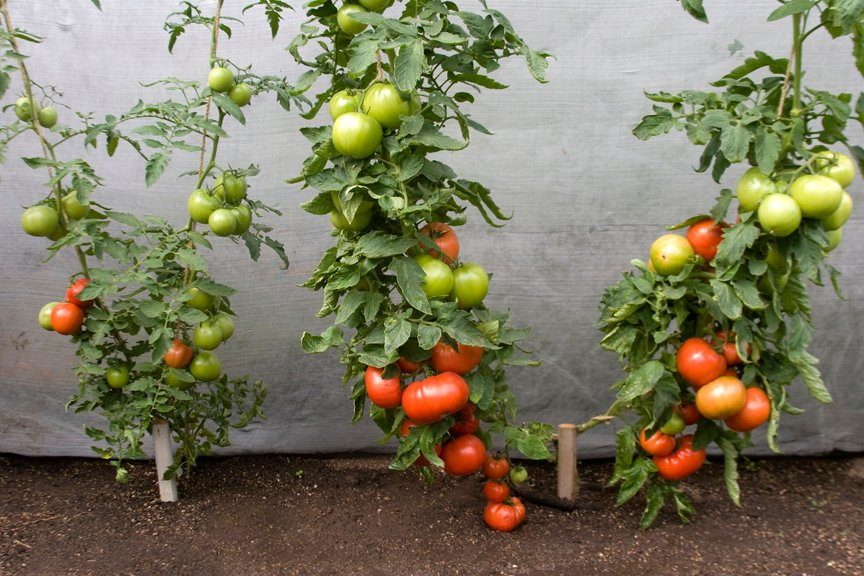 Grafted vs Non Grafted Tomatoes