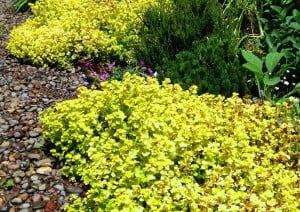 Color match--golden oregano 28Origanum vulgare 27Aureum27 - edited