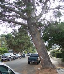 A Leaning Tree
