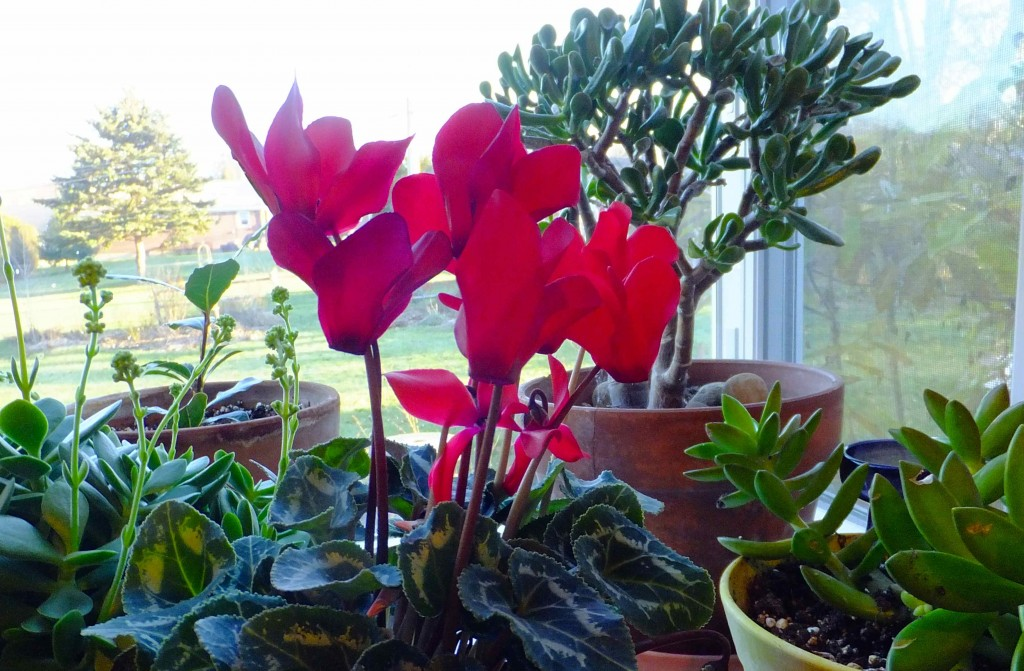 Cyclamen plants bloom for weeks in winter. They prefer cool daytime temperatures of 65°F or lower, and even cooler night temps.