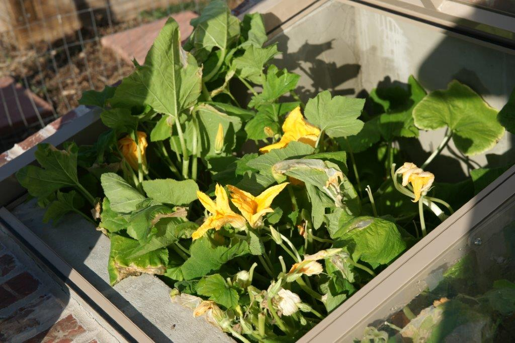 squash blossoms in a cold frame close up
