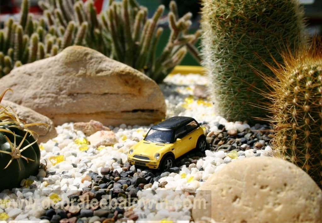 A tiny yellow Mini Cooper traverses a gravel desert road among golden-spined Echinocereus;