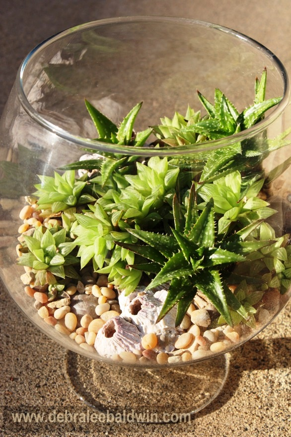 Spiky Aloe nobilis couples with seashells as if under water in a 10-inch tall glass terrarium;