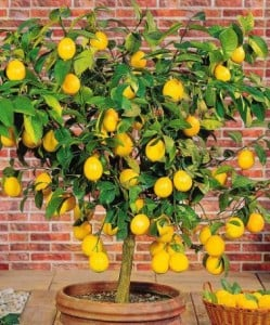 Lemon tree tipico toscano 01.09.2015
