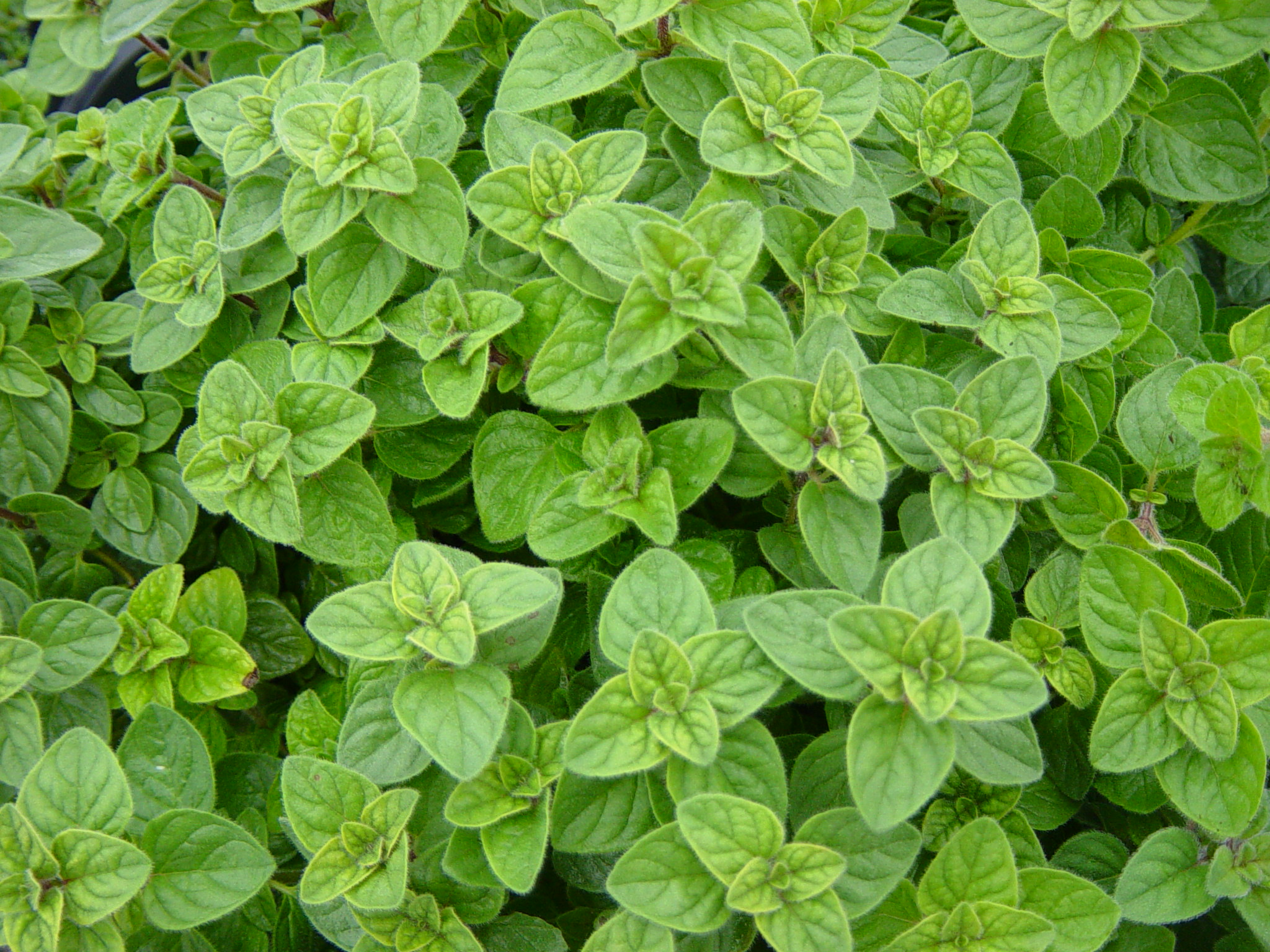 Getting to know Perennial Greenhouse Herbs - Roger Marshall