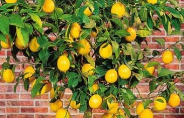 bright-yellow-lemon-tree