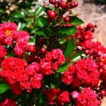First Editions® Ruffled Red Magic® (Lagerstroemia 'PIILG-AII')