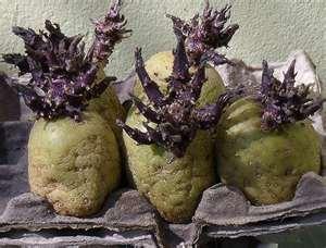 potato chitting - 03.2.16