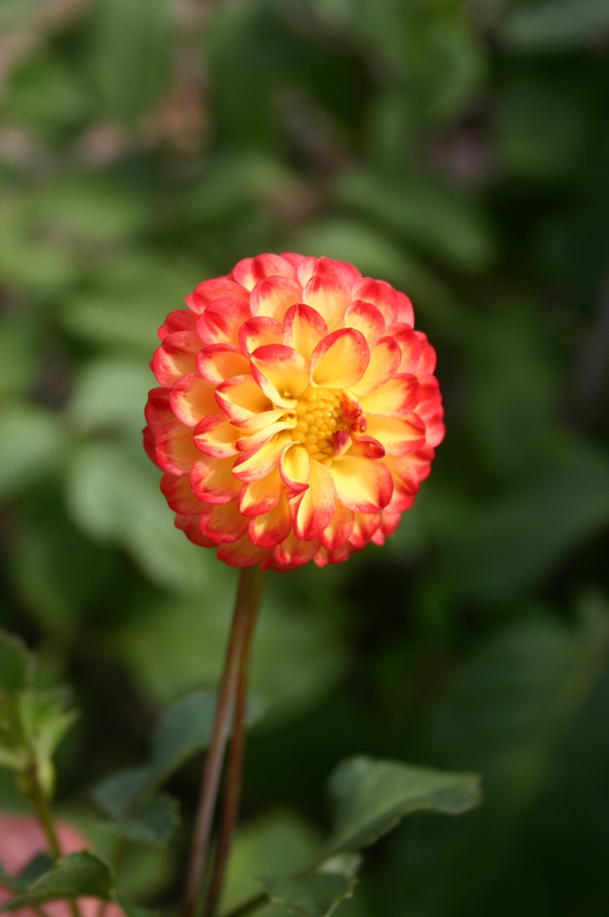 Growing Early Blooming Dahlias By Roger Marshall